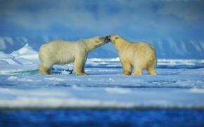 Обои пара, белые медведи, льды, снег, Арктика