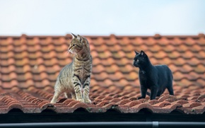 Обои усы, взгляд, крыша, коты