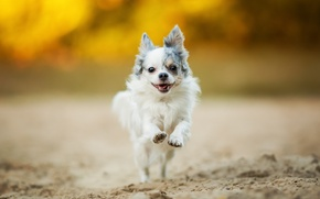 Картинка настроение, прогулка, чихуахуа, собачонка