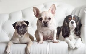 Картинка собаки, взгляд, мопс, трио, спаниель, французский бульдог, троица