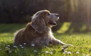 Картинка лес, трава, лучи, цветы, поляна, собака, щенок, профиль, лужайка, обои от lolita777, мошки