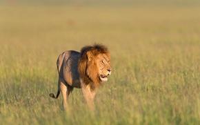 Картинка трава, лев, grass, lion, Кения, Kenya, Masai Mara, Масаи Мара