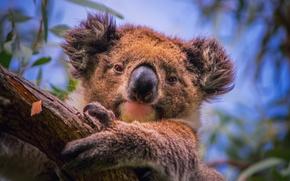 Картинка ветки, дерево, портрет, эвкалипт, Коала, травоядное сумчатое, южная Австралия, phascolarctos cinereus