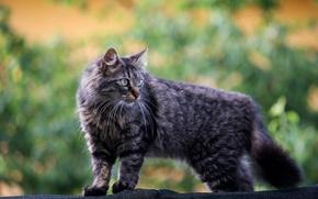 Картинка кошка, взгляд, фон, серая, пушистая