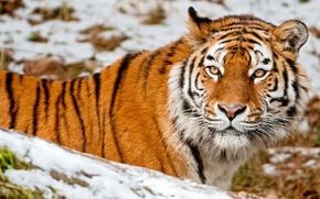 Картинка взгляд, морда, снег, тигр, животное