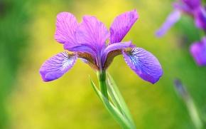 Картинка фиолетовый, макро, красота, лепестки, ирис
