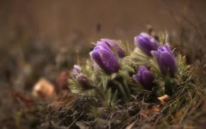Картинка капли, макро, весна, лиловый, бутоны, анемоны, сон-трава, прострел