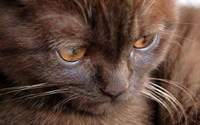 Обои кошка, котенок, шоколадный