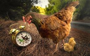Картинка цыплята, курица, будильник