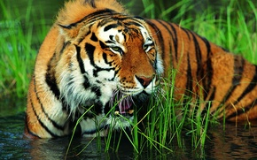 Обои тигр, вода, морда, оскал, трава