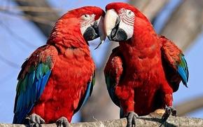 Обои животные, птицы, дерево, обои, попугаи, ара