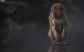 Картинка интерес, сидит, photographer, Японский макак, Macaca fuscata, Kenji Yamamura