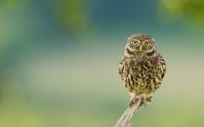Картинка взгляд, фон, сова, птица, ветка, сук