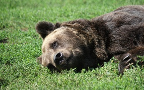 Картинка трава, природа, животное, хищник, медведь