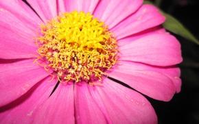 Картинка Макро, Желтый, Цветок, Розовый, Композиция