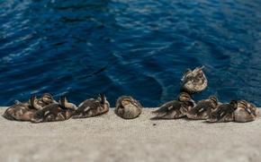 Картинка вода, утки, много
