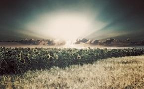 Картинка поле, солнце, лучи, подсолнухи, дождь