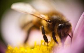Картинка цветок, макро, пчела, насекомое, опыление