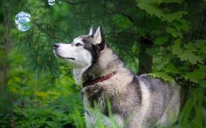 Обои природа, собака, хаск