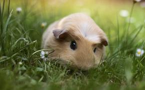 Картинка трава, животное, морская свинка
