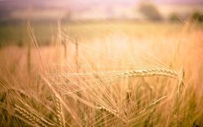 Картинка пшеница, поле, макро, природа, фон, widescreen, обои, рожь, колоски, wallpaper, колосья, field, nature, широкоформатные, background, ...