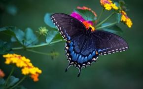 Обои лантана, красавица, крылья, бабочка