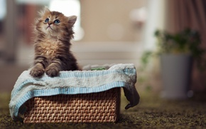 Картинка кошка, cat, kitty, eyes, cute, paws, blue eyes, глаза
