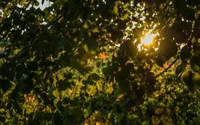 Картинка листья, солнце, свет, дерево