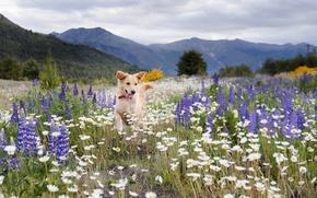 Картинка поле, лето, цветы, горы, ромашки, собака, луг, люпины, обои от lolita777