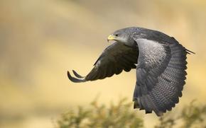 Картинка полет, орел, крылья, Argentina, Black-Chested Buzzard Eagle
