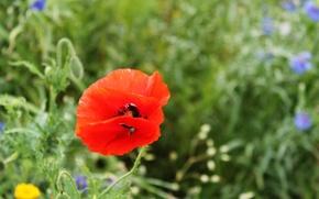 Обои красный, лепестки, мак, цветок