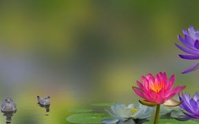 Картинка цветы, птицы, коллаж, лилии, водяная лилия