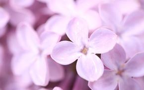 Картинка цветы, весна, лепестки, сирень, фиолетовое