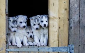 Картинка собаки, щенки, хаски