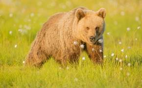 Обои медведь, трава, бурый, природа