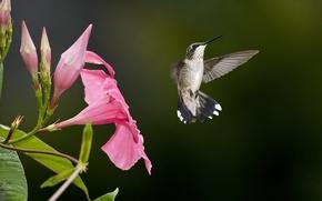 Картинка цветок, розовый, птица, размытость, колибри