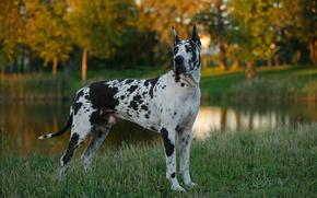 Картинка трава, собака, пёс, немецкий, дог