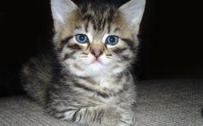 Картинка глаза, кот, усы, взгляд, котик, пушистый, маленький, мордочка, уши, котёнок, серьёзный, мягкий