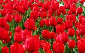 Обои лепестки, поле, луг, сад, весна, тюльпаны