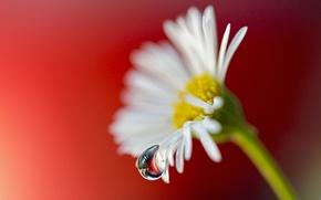 Картинка цветок, макро, капля, лепестки, ромашка