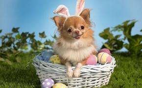 Картинка яйца, собака, пасха, чихуахуа