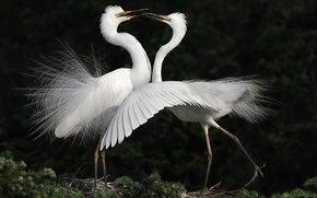 Картинка птицы, танец, белые, цапли