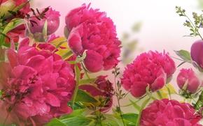 Обои цветы, капельки, листики, пионы