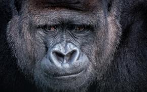 Картинка взгляд, Gorilla, обезьяна