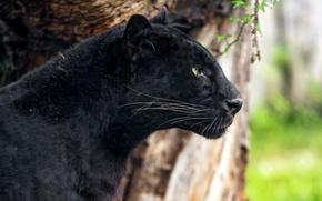 Картинка черный, хищник, пантера, леопард, профиль
