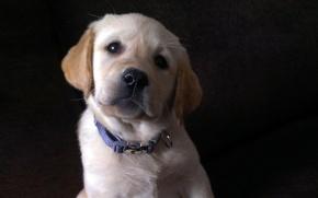 Картинка взгляд, щенок, лабрадор