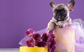 Обои цветы, французский бульдог, щенок