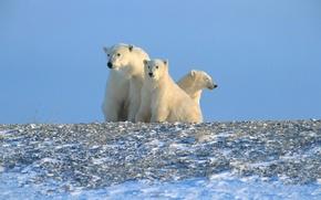 Обои белые медведи, Арктика, Север