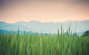 Картинка трава, макро, роса, Thailand, зеленая, Pai