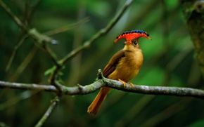 Обои Бразилия, краски, хохолок, птица